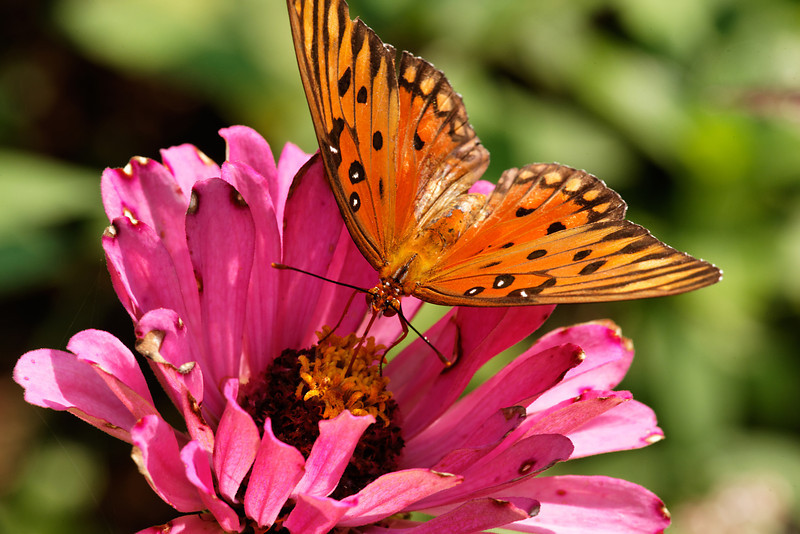 Gulf Fritillary butterfly (Agraulis vanillae) on zinnia (Zinnia)