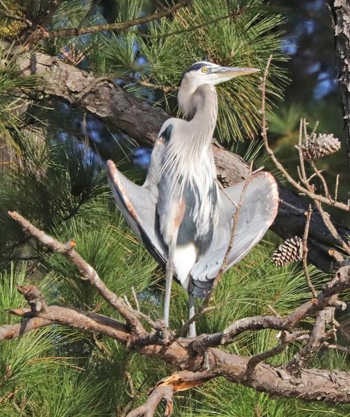 heron perched.jpg