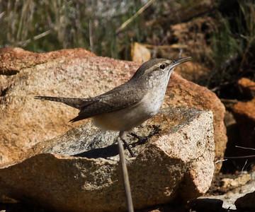 Rock Wren Salpinctes obsoletus