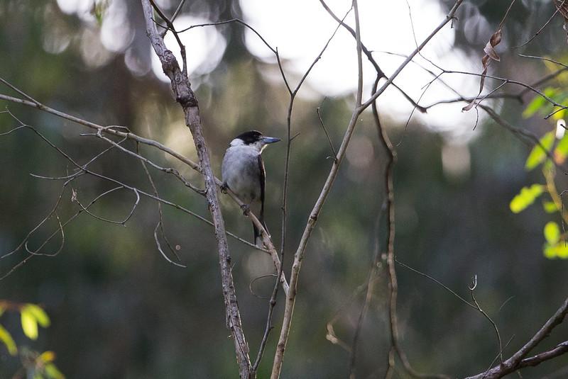 Brey Butcherbird