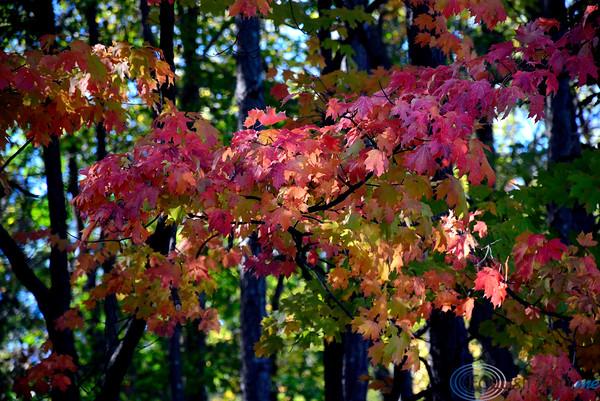 10/11/2016 Mike Orazzi | Staff Fall color in Bristol's Page Park.