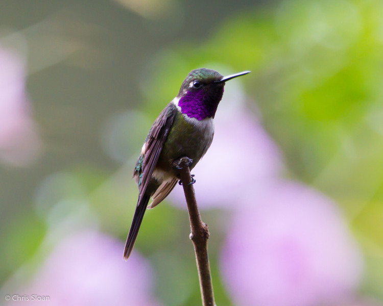 Purple-throated Woodstar male at Alambi, Ecuador (03-03-2014) 024-54-Edit.jpg