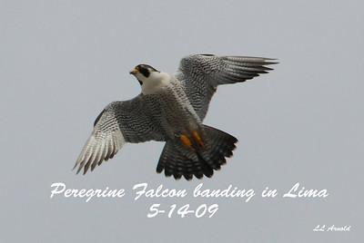 PEREGRINE FALCON BANDING