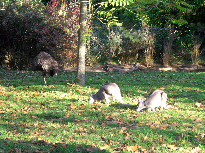 Kangaroos and some bird that looks like an ostrich, but isn't.