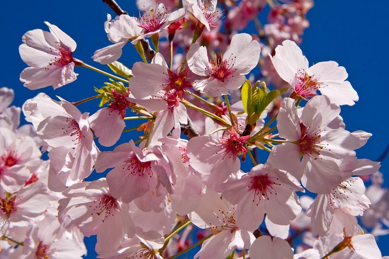 *Cherry_Blossoms-April2011.jpg