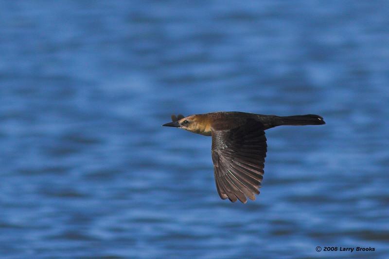 Female Boat-tailed Grackle caught in flight at Joe Overstreet's Landing