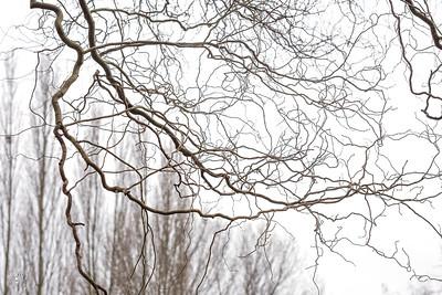 Saule pleureur tortueux (Salix  babylonica f. tortuosa)