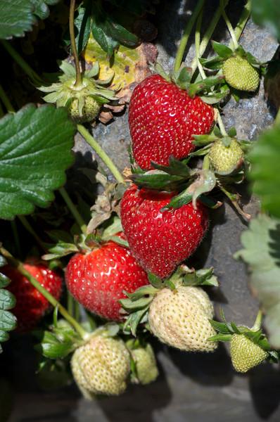 Strawberries on the vine