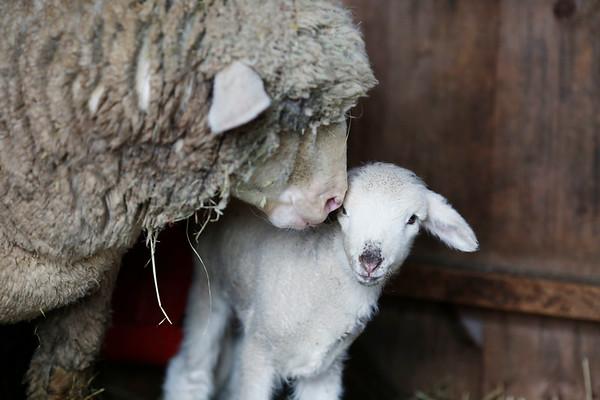 Lambs at Brattle Farm-031919