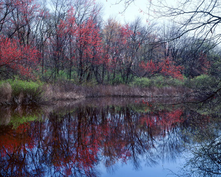 Maple Trees In Flower, Sudbury River