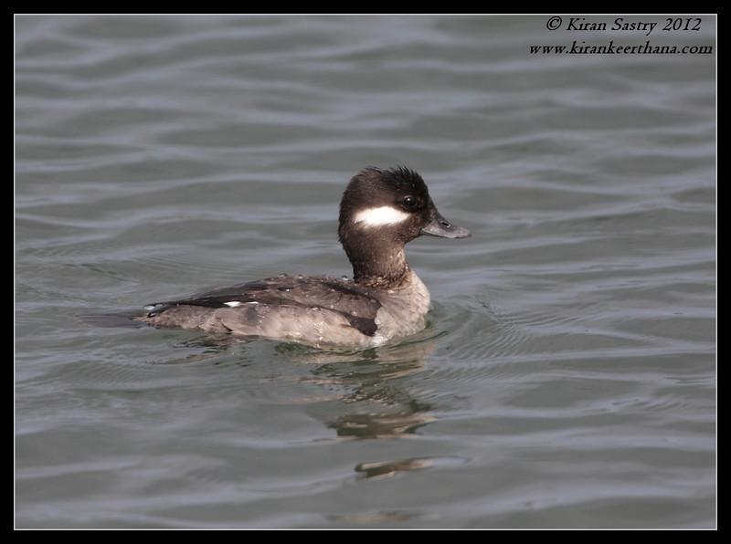 Female Bufflehead, Robb Field, San Diego River, San Diego County, California, February 2012