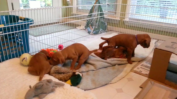 Danny x Freyja Pups - 4 weeks