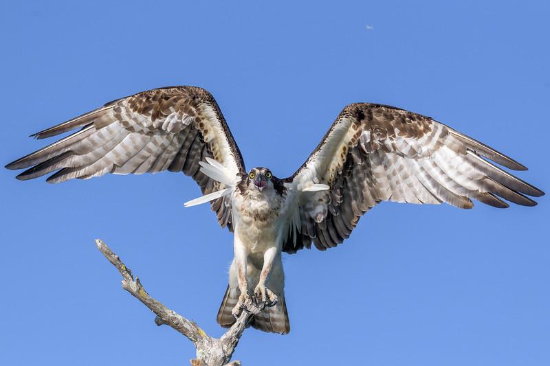 2021_KSMetz_Florida_Osprey Trip_April08 and 09_NIKON D850_6664.jpg