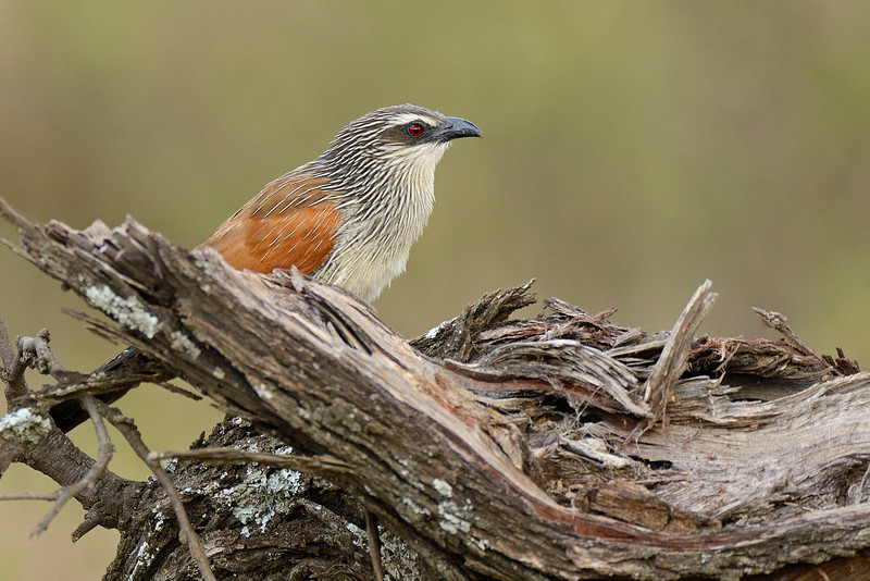 White-browed-Coucal.jpg
