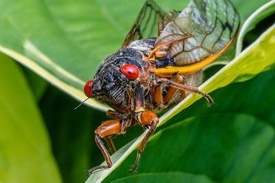 Cicada Macro