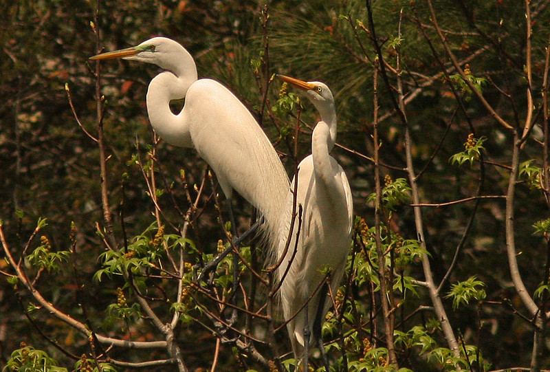Egrets breeding plumage, rookery South Carolina