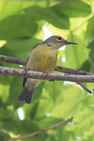 Yellow-bellied Gerygone