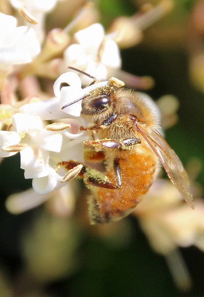 Honey bee 18