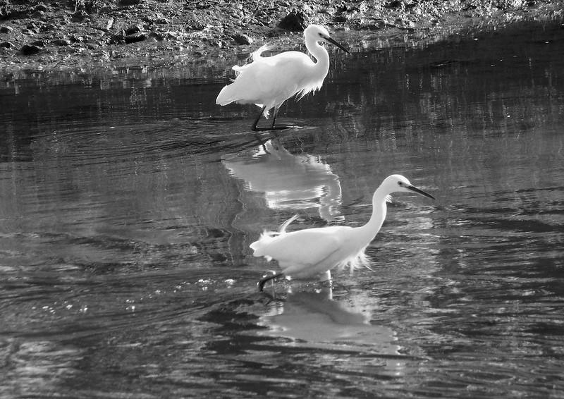 Egrets Corte Madera Marsh