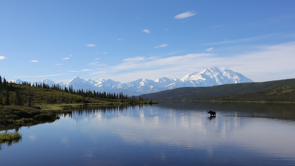 Bull Moose drinks from Wonder Lake, Alaska