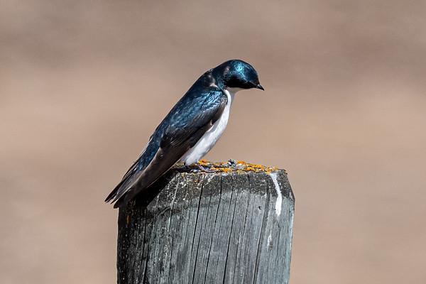 5-1-20 Tree Swallows