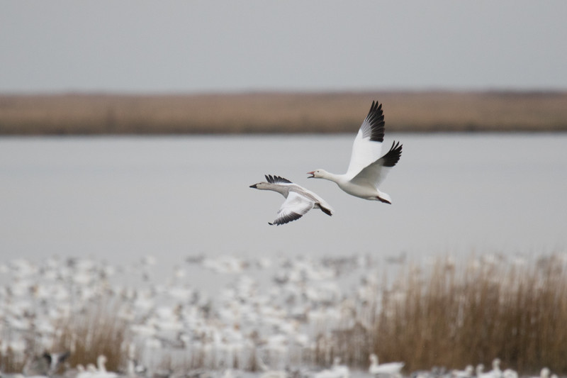 Snow Geese Bombay Hook Fall 2019-11.jpg