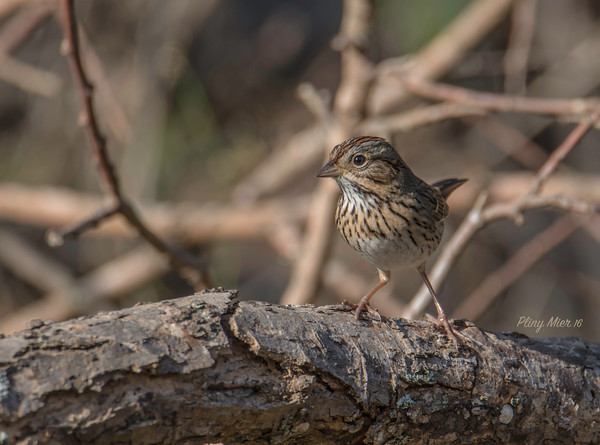 Lincoln's Sparrow_DWL7577.jpg