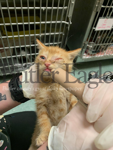 Local Photos for Friday's edition with caption: Frankie's Friends in New Kensington agreed to treat 36 kittens who were taken from a Parker property by Homeless Cats of Butler. Submitted photo.