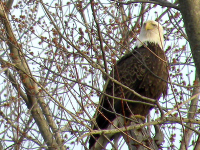 Bald Eagles in Central Illinois, on Lake Springfield, and south of Springfield IL