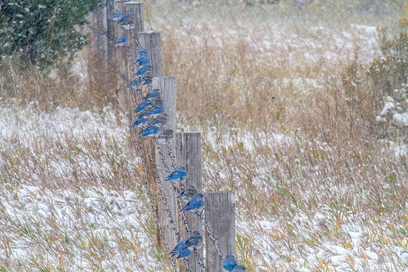 Mountain Bluebird flock on barbed wire fence in snow Theodore Roosevelt National Park Medora ND -1869.jpg