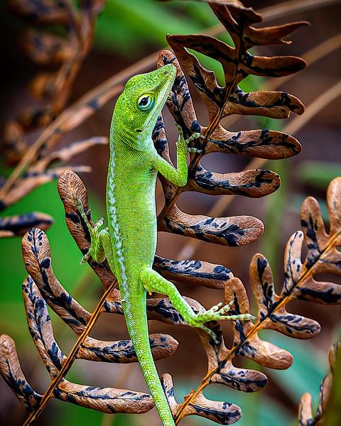 Green Anole_WatsonsPreserve_BL8E8876.jpg