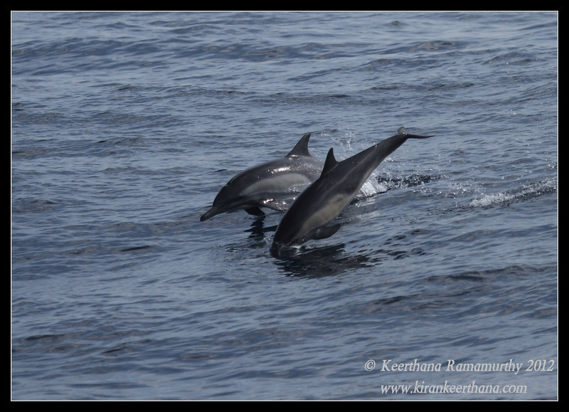 Common Dolphins in playful mood, Whale Watching trip, San Diego County, California, September 2012