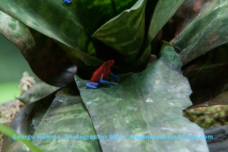 Brightly colored frogs warn predators to leave them alone with their color.