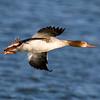 Red-breasted Merganser in flight