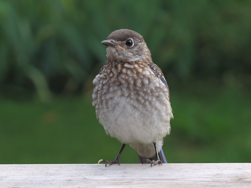 sx50_bluebird_fledgling_853.jpg