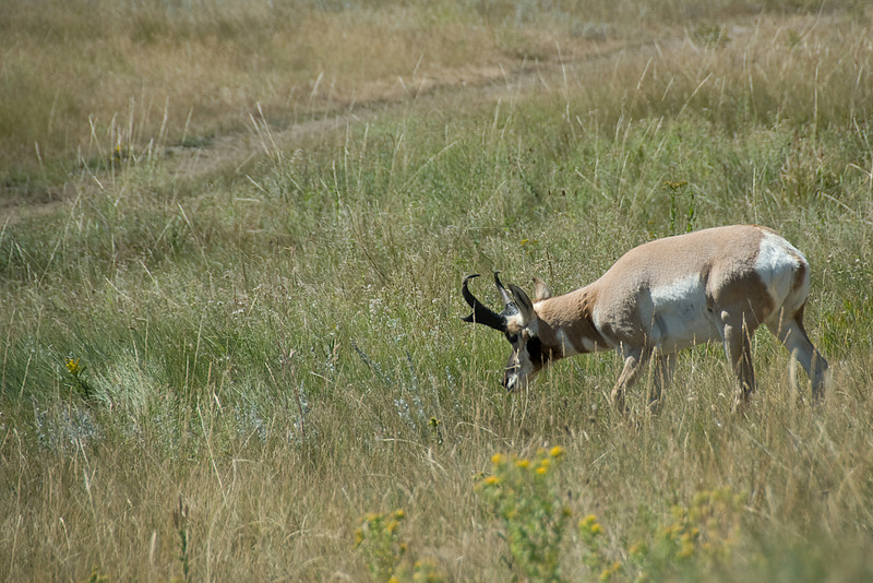 Pronghorn male custer in Black Hills, South Dakota