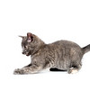 cute gray kitten pouncing on white background