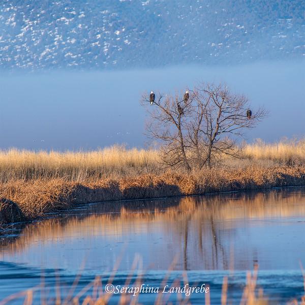 _DSC9429Eagle tree.jpg