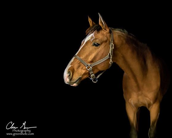 Equine Portrait Work