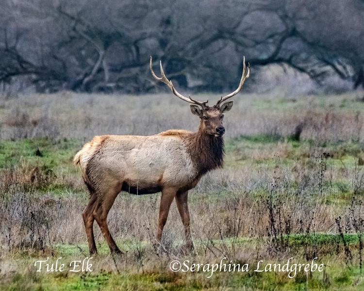 _DSC7749Stag Tule Elk .jpg