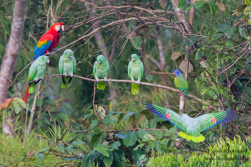 Scarlet Macaw, Blue-headed Parrot and Mealy Parrots - Tambo Blanquillo Clay Lick, Manu Biosphere Preserve, Peru