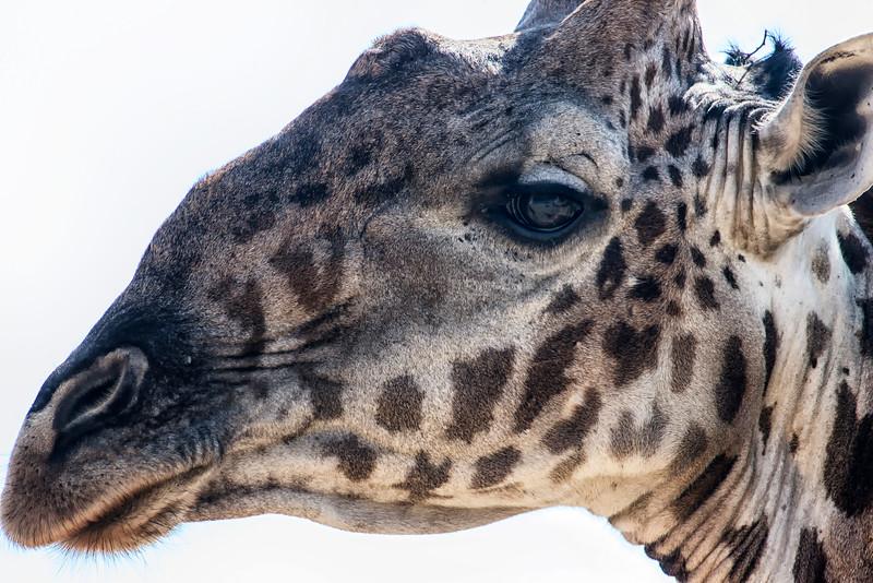 Giraffe Giraffa camelopardalis