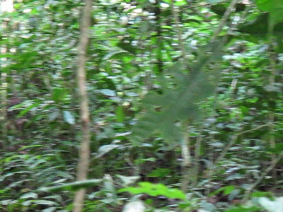 Kibale Forest Trek - Chimpanzees - Videos