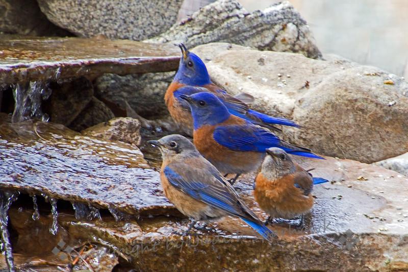 Bluebirds Four - Judith Sparhawk