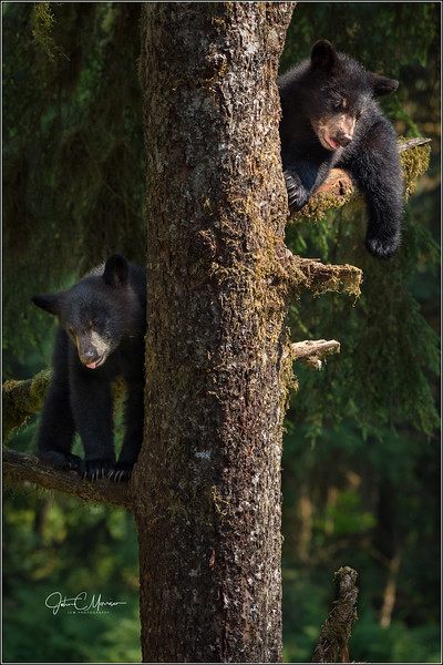J85_6118 two cubs in tree L W.jpg