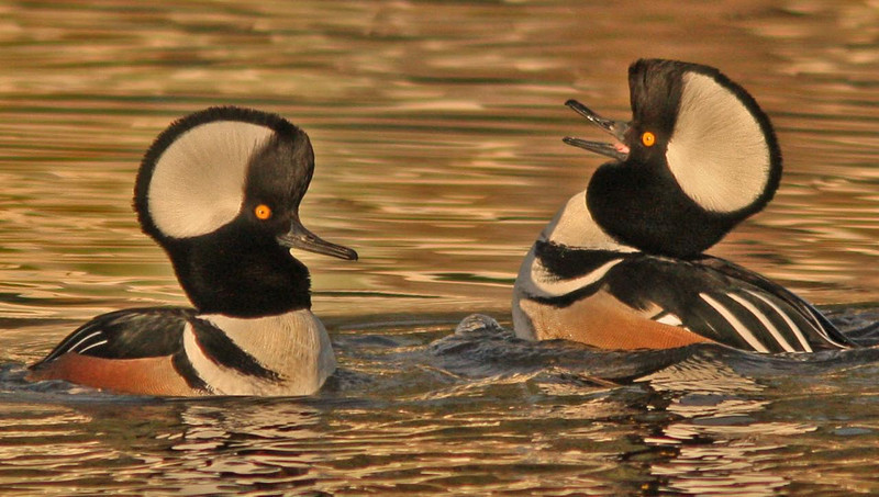 Male Hooded Mergansers with raised crests cocking heads in display for nearby female