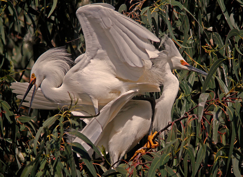 Snowy Egrets Mating, Ninth Street Rookery