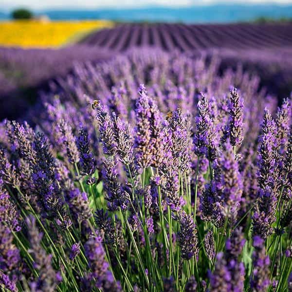 Lavender-field-blurred-bg-Insta.jpg