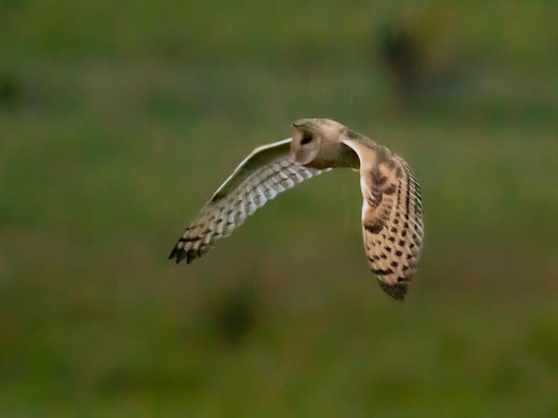Eastern Grass Owl