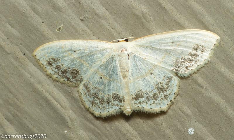 Large Lace-border, Scopula limboundata (Geometridae).